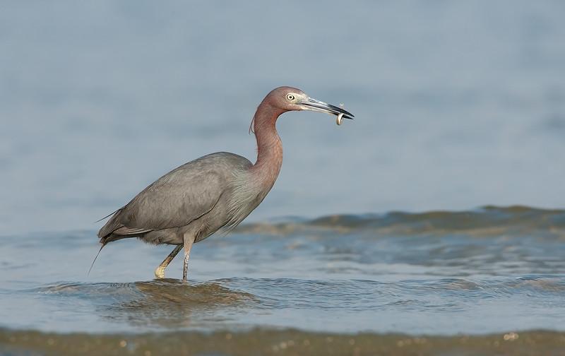 Little Blue Heron with Sand Eel