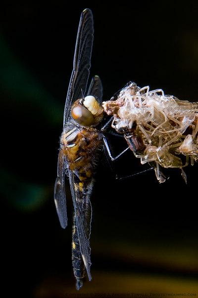 060525 Beda Lake Dragonfly Macro