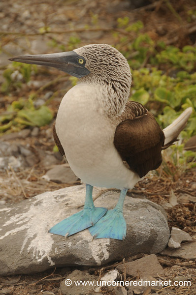 Profile Booby Shot - Galapagos Islands