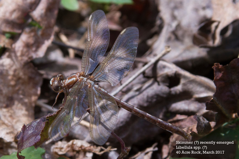 dragonfly unknown.jpg