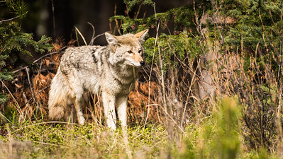 Coyotes in North America
