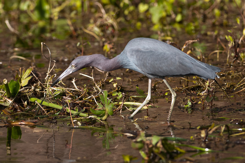 Heron - Little Blue - Wakulla Springs State Park, FL - 02