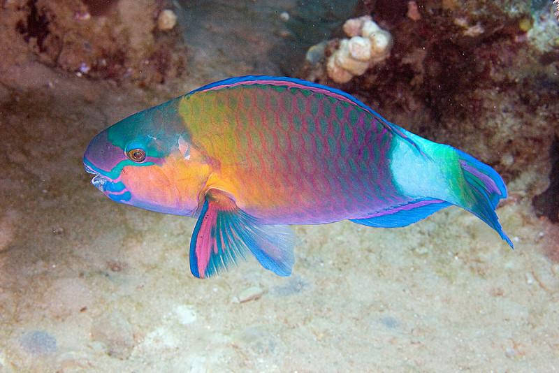 Bullethead Parrotfish.jpg