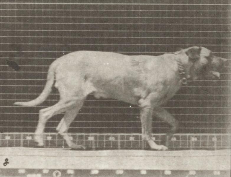 Dog Smith trotting