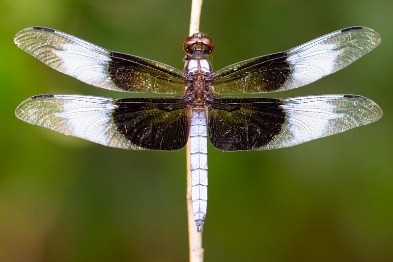 Dragonfly-02209.jpg