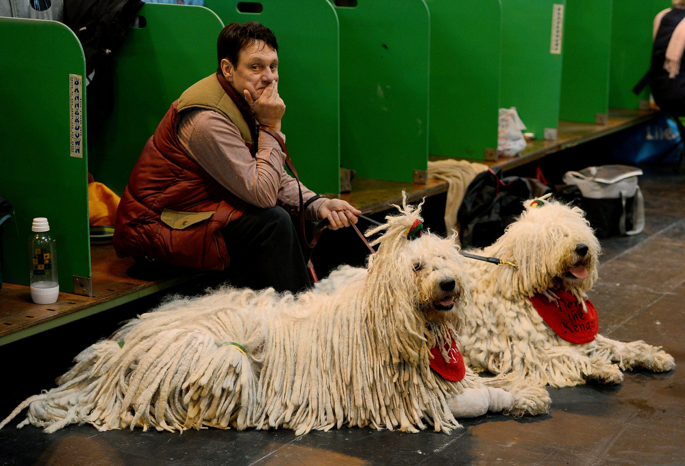 Description of . A man sits with his Komondor dogs during the first day of the Crufts dog show on March 6, 2014 in Birmingham central England. The annual event sees dog breeders from around the world compete in a number of competitions with one dog going on to win the
