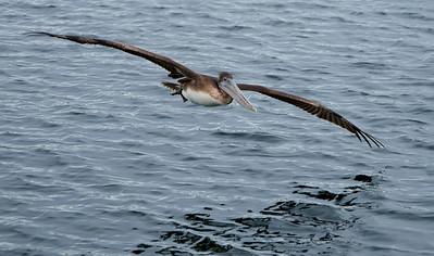 Brown Pelicans - Victoria, B.C.  Dec 2012