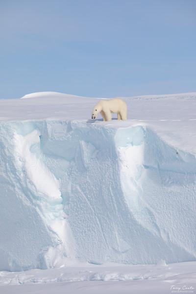 Polar Bear on a Iceberg