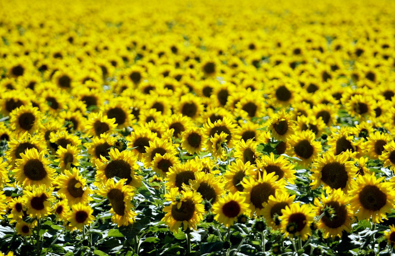 Sunflower field Tuesday June 28th around 5:30pm along 4th Rd. and Cutler Ave. in Capay. - Halley photo 6/28/05