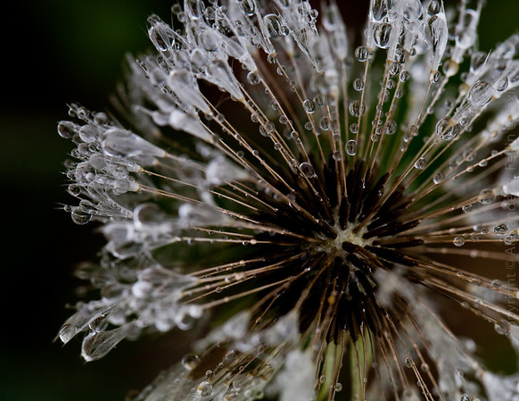 The Rainy Day Dandelions - Maryland - May 15, 2011
