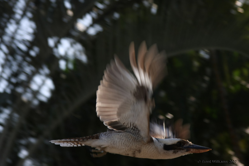 A kookaburra in flight. Photo by Trent Williams