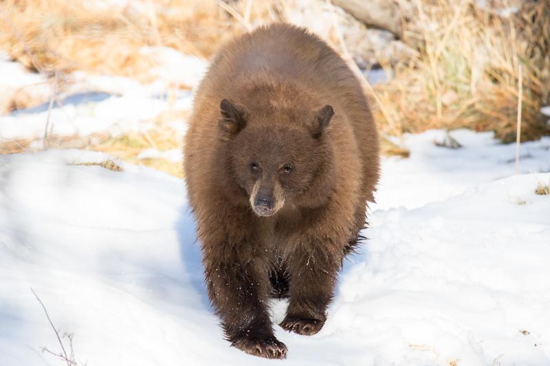 Tahoe Bear Fall 2020-17.jpg