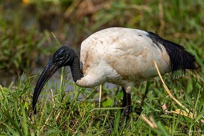Helligibis (African Sacred Ibis)
