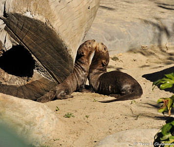 Giant River Otter Pups
