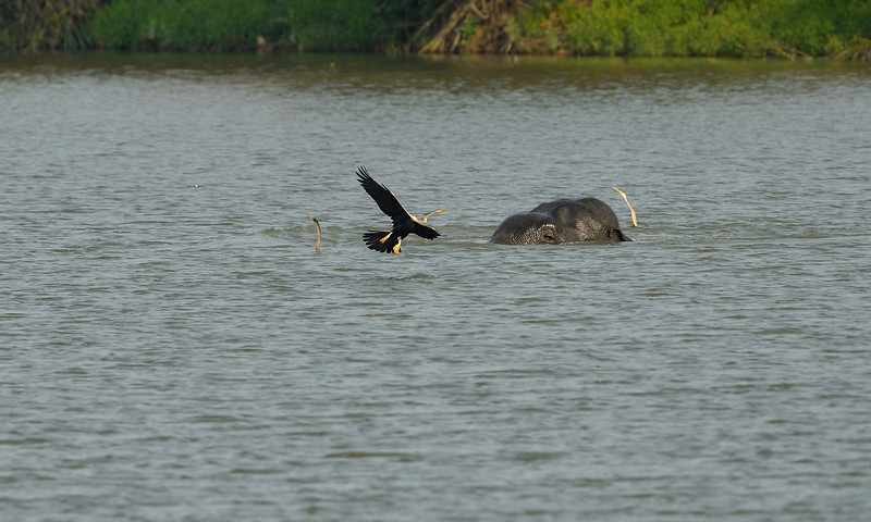 Elephant-swimming-across-lake-kaziranga-7-2.jpg