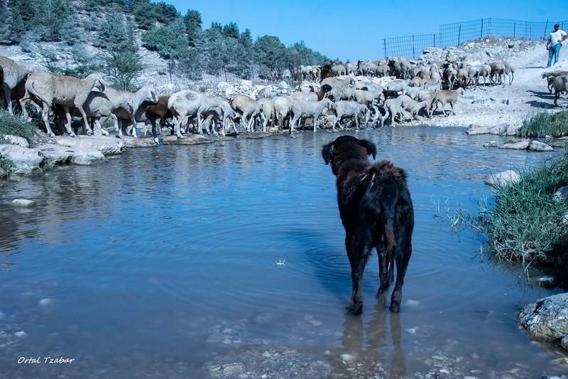 כלב וכבשים בנחל ציפורי.jpg