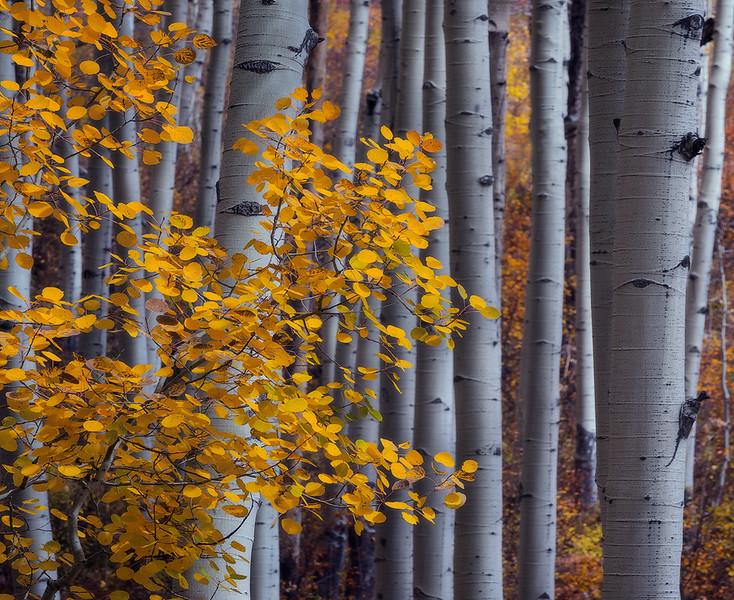 Kebler Pass - Leaves