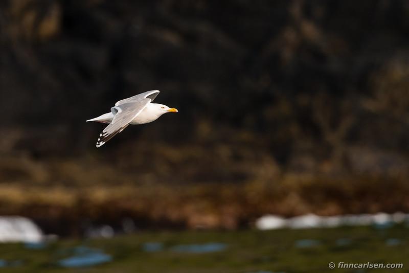 Sølvmåge (Larus argentatus - European herring gull)