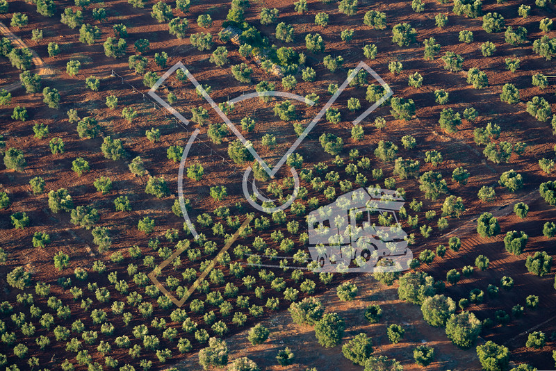 aerial view on fields with olive trees on a summer evening sunset, in the area of Brindisi, Apulia