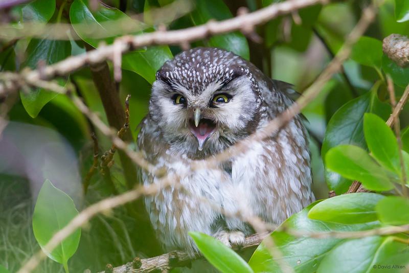 Tengmalm's Owl - Tresta, Shetland 02/03/19