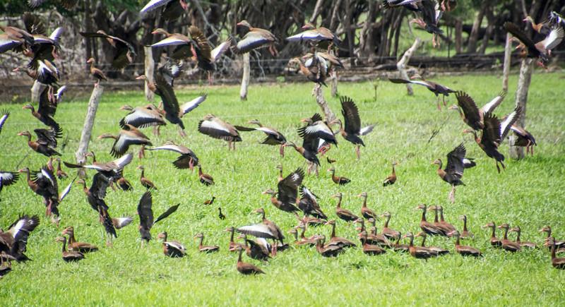 Costa Rica_Birds_Whistling Ducks-9.jpg
