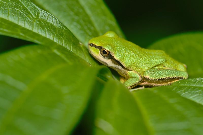Pacific  Tree froglet