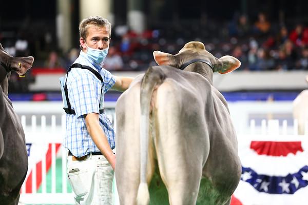 Brown Swiss Heifers