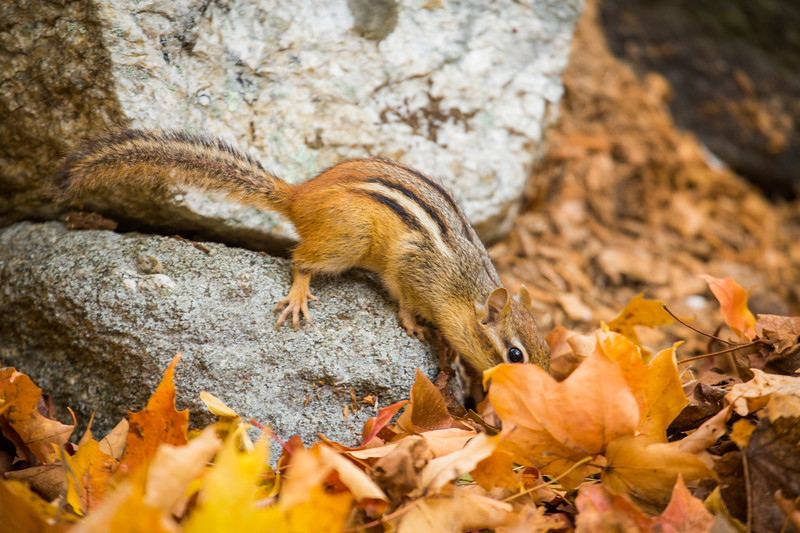 Eastern chipmunk (Tamias striatus), Autumn, on an old stone wall, New England, USA