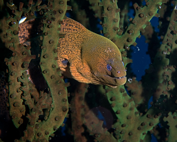 Yellowmargin Moray and Green Tree Coral