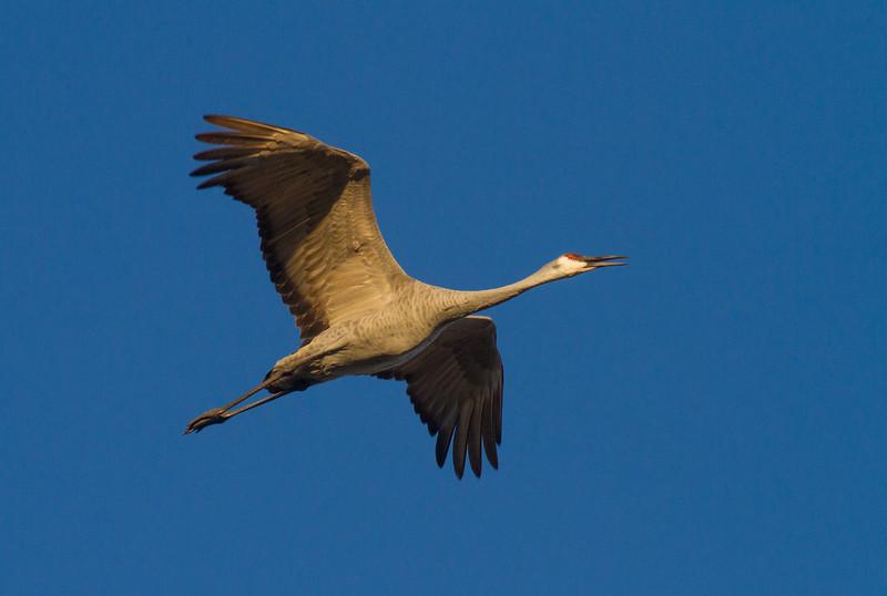 Sandhill Crane flock flying flight Sherburne National Wildlife Refuge Sherburne County MNIMG_1601.jpg