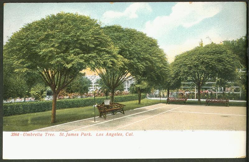 Umbrella Trees, St. James Park, Los Angeles, Cal.