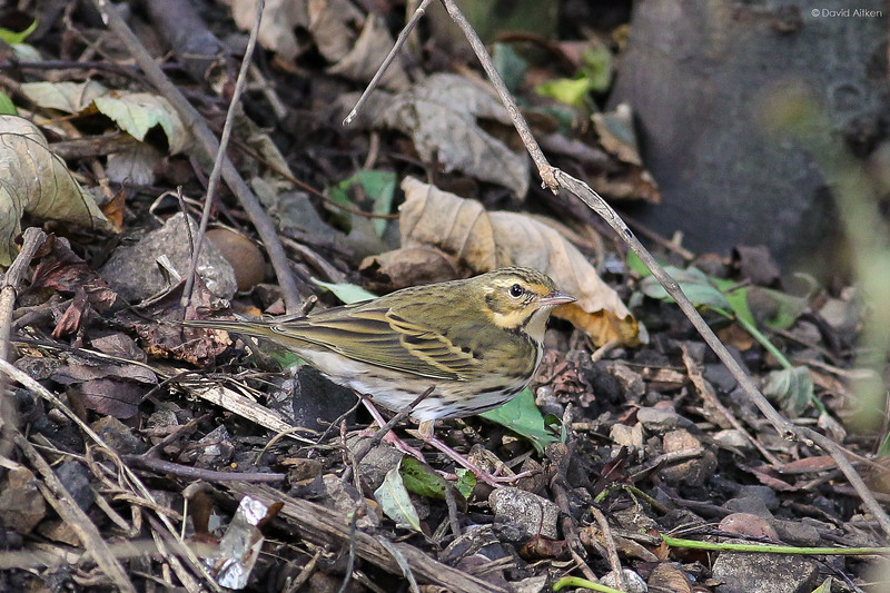Olive-backed Pipit - Sunderland, Co. Durham 19/10/14