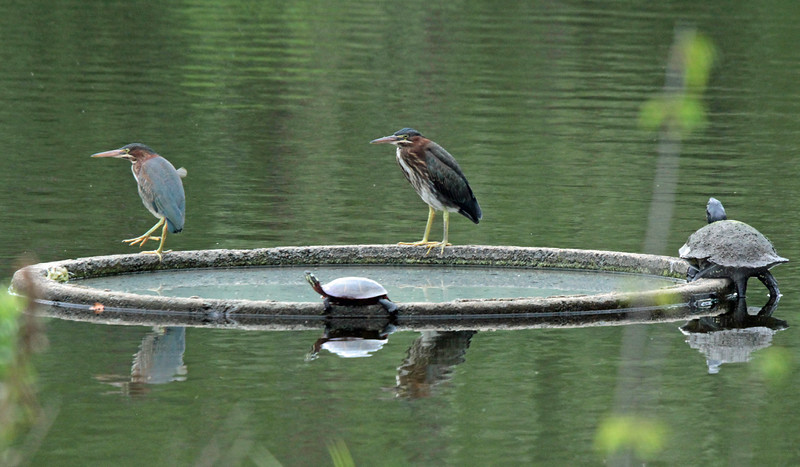 Green herons and turtles