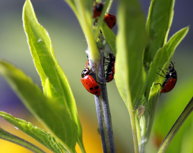 Lady bug 2.jpg