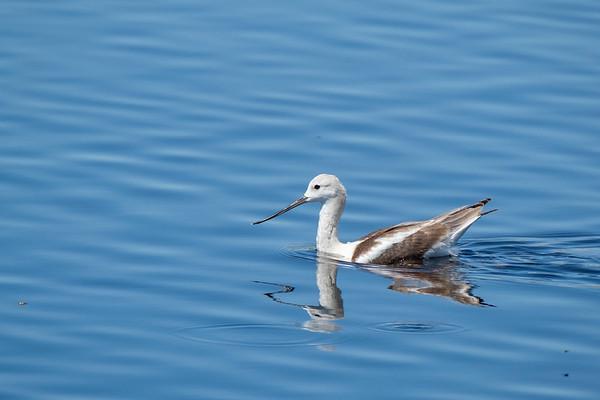 Wading & Shore Birds