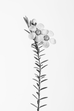 Leptospermum  You can purchase prints of this via the gallery at  https://gumbootsphotography.smugmug.com   © Fiona Gumboots  - All images are copyright . You know the rules. Don't steal. Remember to credit.  There is a blog and things about plants at www.thegumbootchronicles.com. You can also  purchase prints there too.