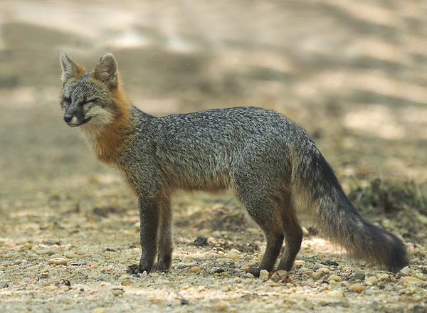 Gray fox, Urocyon cinereoargenteus