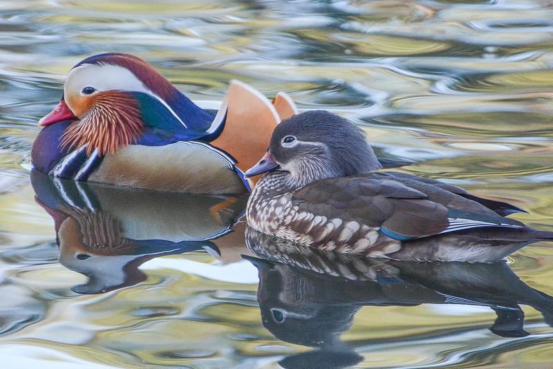 Mandarin Duck Drake and Hen