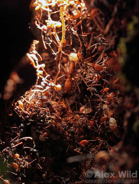 Inside an army ant bivouac.  Maquipucuna reserve, Pichincha, Ecuador