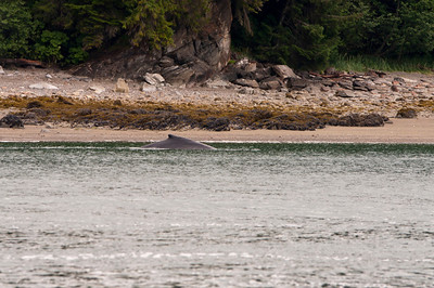 Juneau Whales and Sea Lions