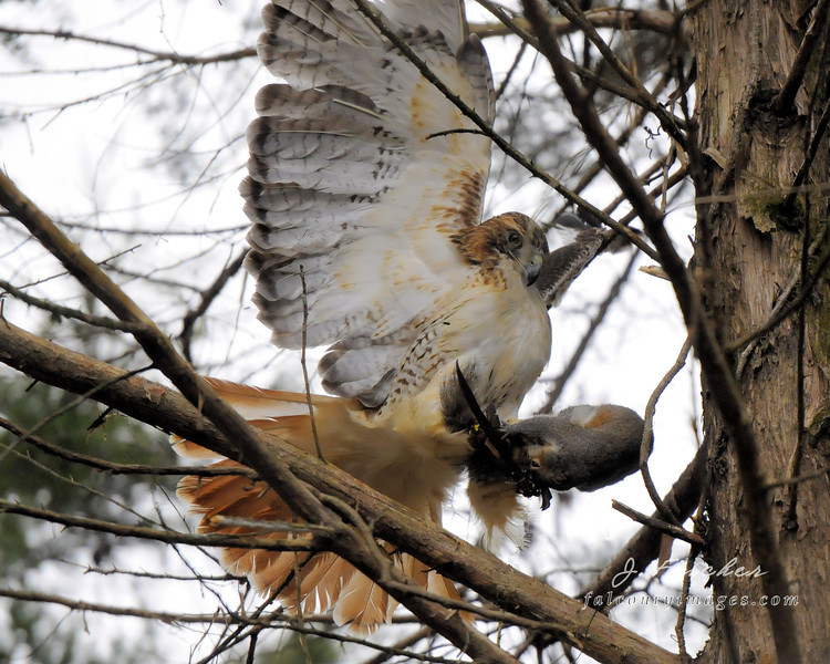 hawk with squirrel in cedar.jpg