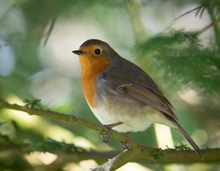 Immaculate Robin