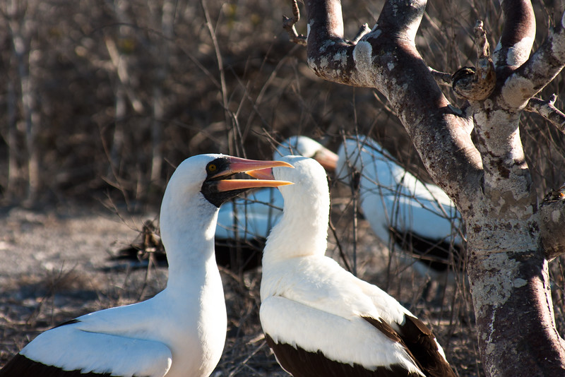 Family of Nazca Booby : Journey into Genovesa Island in the Galapagos Archipelago