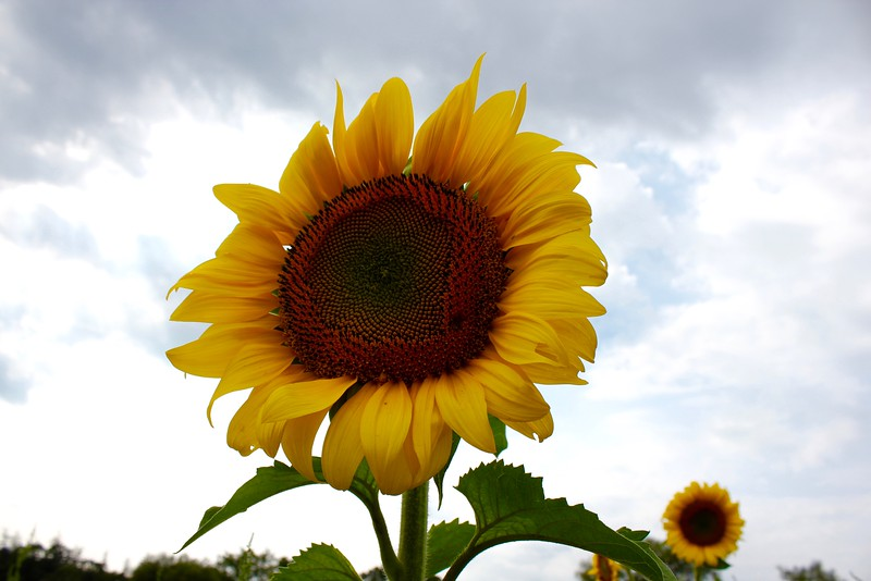 single sunflower in a field