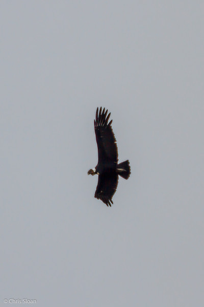 Andean Condor adult male at Antisana Reserve, Ecuador (03-08-2014)-20.jpg
