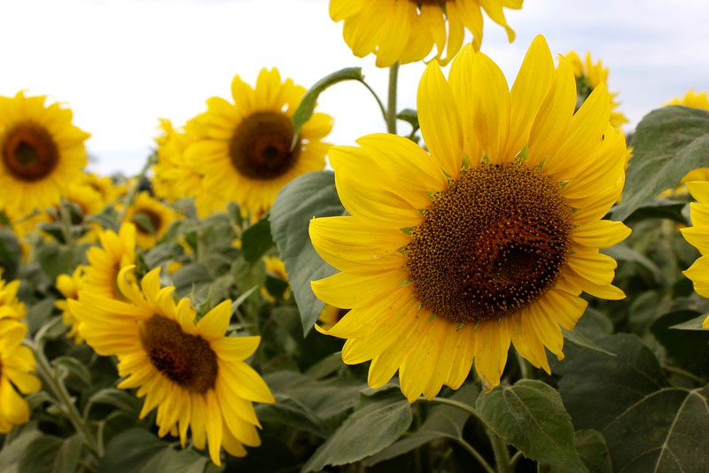group of sunflowers
