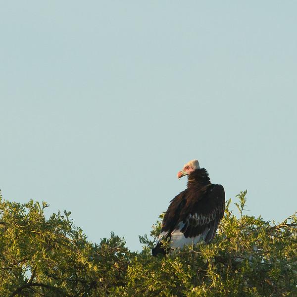 White-headed Vulture - Serengeti National Park, Tanzania