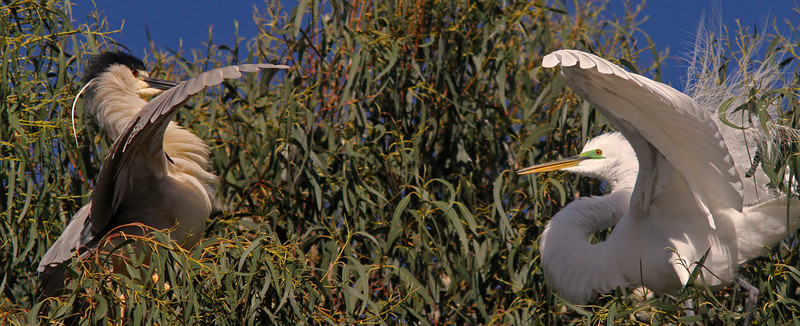 Black-crowned Night Heron and Great Egret squabble over nesting territory, Ninth Street Rookery
