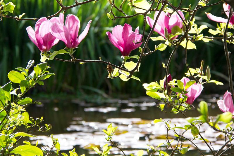 Pond framed by Magnolia blossoms