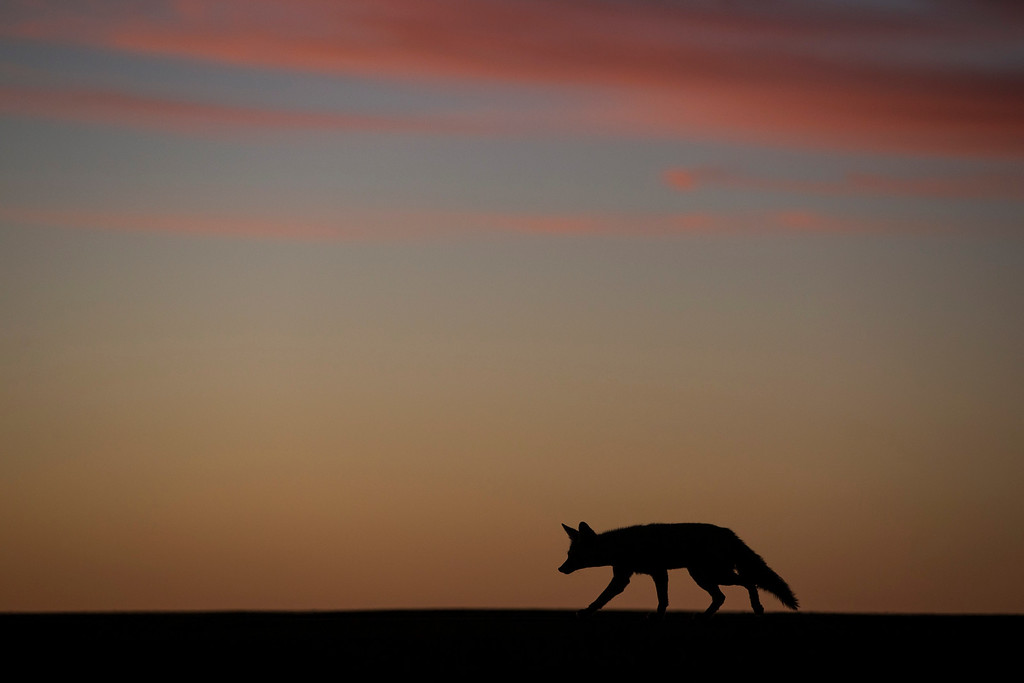 . A coyote walks along the runway of a small desert airport during the fourth stage of the Dakar Rally 2015 between Chilecito, Argentina and Copiapo, Chile, as the sun sets on Wednesday, Jan. 7, 2015. The race will finish on Jan. 17, passing through Bolivia and Chile before returning to Argentina where it started. (AP Photo/Felipe Dana)